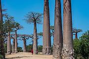 Grandidier's Baobab (Adansonia grandidieri)<br /> Baobab Alley<br /> Near Morondava<br /> Southwestern Madagascar<br /> MADAGASCAR