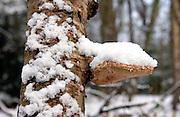 Snow Covered Tree Trunk, Hampstead Heath, London