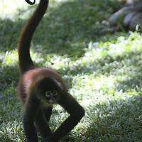 Central America, Latin America, Costa Rica, Golfo Dulce, Cana Blanca Wildlife Sanctuary. Curious Spider Monkey.