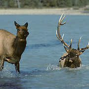 Elk bull herding a cow back to the shore of the Athabasca River during fall rut in the Rocky Mountains, Canada.