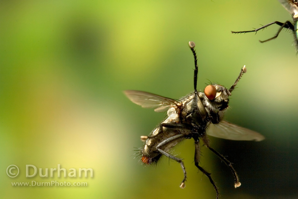 A fly of undetermined species engages a green bottle fly (mostly out of frame) in a mid-air tussle. photographed with a high-speed camera in Western Oregon.