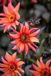 Dahlia 'Waltzing Mathilda' AGM with Common Carder bees - Bombus pascuorum