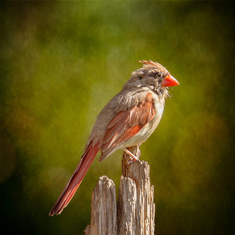 Female Northern Cardinal On A Stump Backed By Sunny Green Textures
