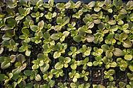 overhead view of lettuce seedlings in a tray
