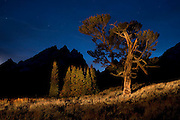 The historic Old Patriarch Tree in Grand Teton National Park just after sunset with a few beams of light.