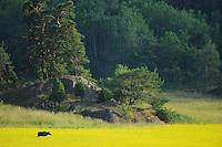 European Moose female, Alces alces, Elk, Morko, Sormland, Sweden