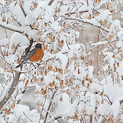A robin (Turdus migratorius) takes refuge in a crab apple tree during an early spring snowstorm in southwest Montana. Early arrival makes it difficult for these birds to feed due to extreme weather.