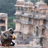 Monkey Temple, Jaipur, India.<br /> Photo by Shmuel Thaler <br /> shmuel_thaler@yahoo.com www.shmuelthaler.com