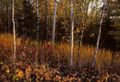 Birch forest stands in golden autumn light filtering through forest in northern Minnesota.