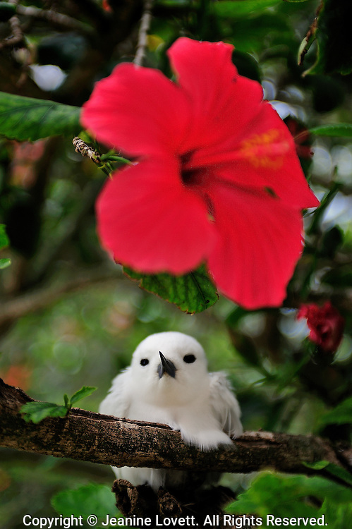 White tern on a branch near a red hibiscus flower.