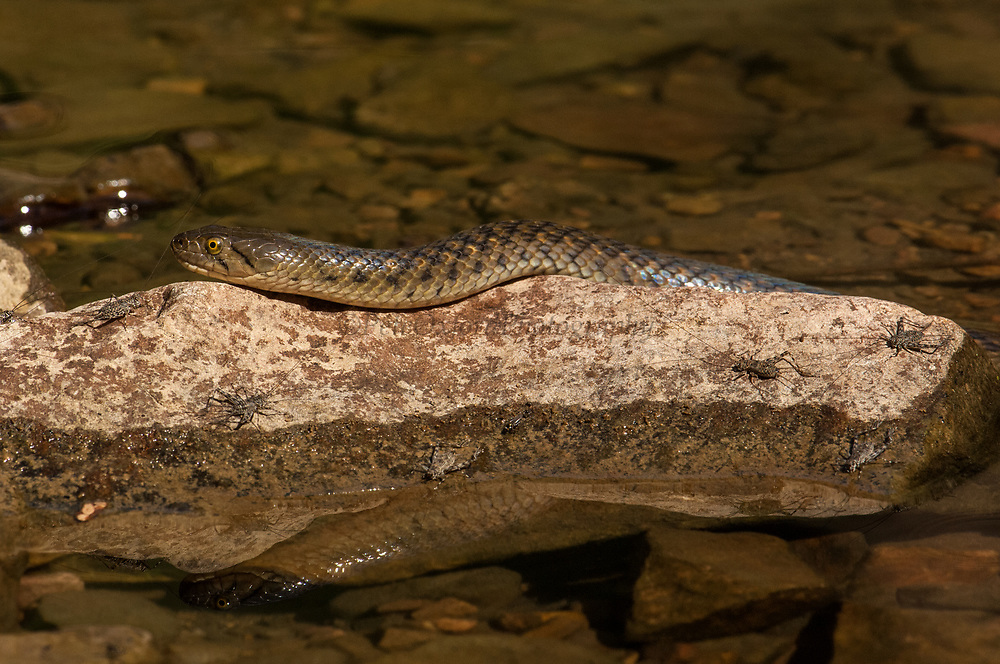 Checkered Keelback (Xenochrophis piscator) Ranthambhore National Park. Rajasthan. INDIA. <br /> Common fresh water snake that feeds mainly on frogs, fish and tadpoles. Will feign death when attacked by predator. Egg laying snake with clutch varying from 8 - 91 eggs. Will errect and flatten forebody prior to striking.<br /> HABITAT & RANGE: Throughout Indian Subcontinent as well as Nepal, Bhutan, Bangladesh, Pakistan and Sri Lanka<br /> STATUS: Abundant.<br /> Ranthambhore National Park was established as a sanctuary in 1955 as a tiger reserve in 1973 and a national park in 1981. The park is dominated by the ruins of the 1,000 year-old Ranthambhore Fort.