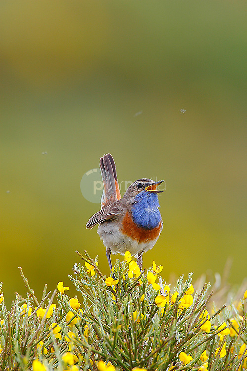 Pechiazul. Boscaje en Avila (Sierra de Gredos) ©Armando Aguilera Perez / PILAR REVILLA