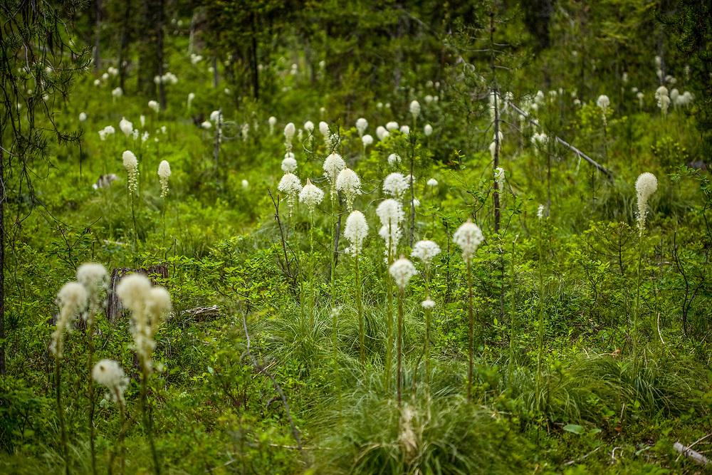 Beargrass flowers Xerophyllum tenax growing on the Lost Trail Pass near Salmon Idaho near the Montana Border