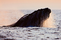 Humpback Whale in competitive group, displaying jaw-clapping head lunge, Megaptera novaeangliae, Hawaii, Pacific Ocean.