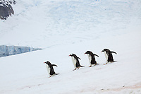 Gentoo Penguin (Pygoscelis papua) descend snowfield from breeding colony to the sea.  Danko Island, Antarctic Peninsula.