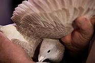 2012 Racing and Show Pigeons, Blackpool