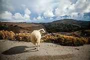 Cretan sheep resting on a mountain road close to Palaiochora which is a small town in Chania regional unit on the island of Crete, Greece.