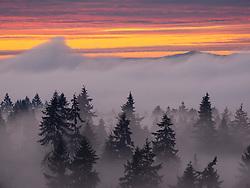 United States, Washington, Bellevue, Douglas Fir trees in mist at sunset