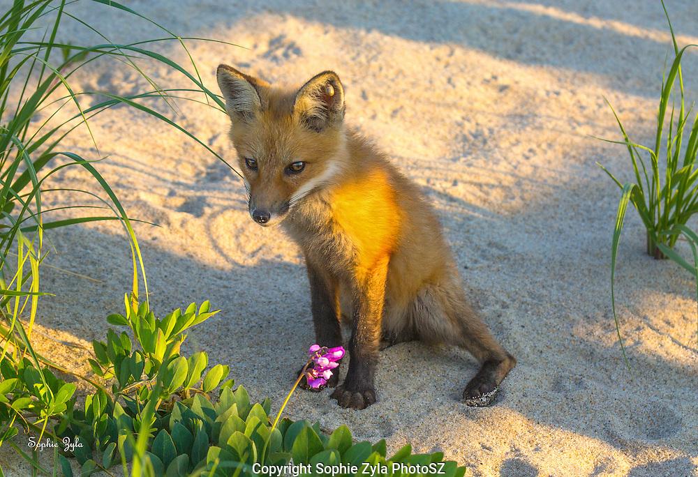 Fox and Beach Pea
