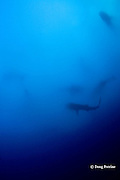 six whale sharks, Rhincodon typus, filter feeding on spawn of cubera snappers, Lutjanus cyanopterus, at dusk, Gladden Spit & Silk Cayes Marine Reserve, off Placencia, Belize, Central America ( Caribbean Sea )