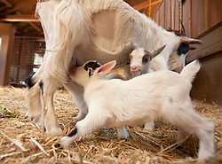 """Cowboy, left, and Maggie, week-old kids, vie for nursing time with their mother Annie, Wednesday, Feb. 27, 2013 at the Oakland Zoo in Oakland, Calif. Cowboy, Maggie, and siblings Norman Jean and Jeffrey, were the first litter, or """"tribe,"""" of goats at the zoo in more than 15 years. (D. Ross Cameron/Staff)"""