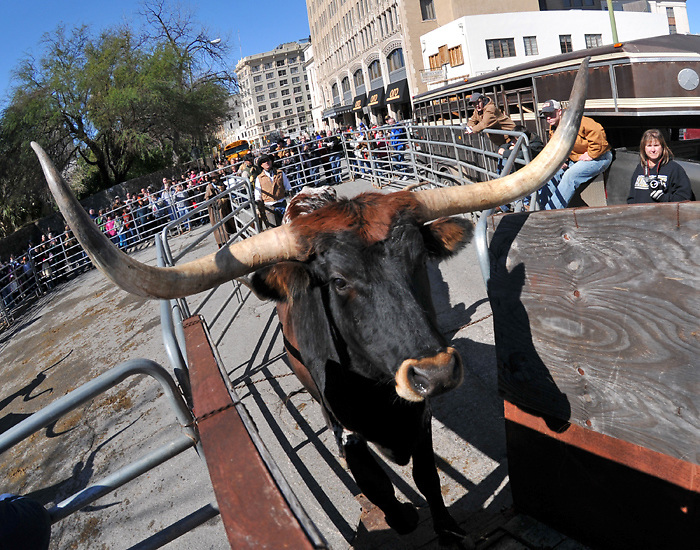 A longhorn steer enters his chute following a cattle drive on the streets of downtown San Antonio, Texas. The cattle drive was to help kick off the annual San Antonio Rodeo and Stock Show.