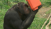 "Scotland, United Kingdom - <br /> <br /> Bananavision! Chimps Given Special Video Camera To Make Their Own Film<br /> <br /> A television programme that puts the cameras in the hands of the 'stars' themselves has just been completed in an extraordinary wildlife experiment. The celebs concerned are a close-knit group of 11 chimpanzees at Edinburgh Zoo who were provided with a specially built 'Chimpcam' so that they could film one another. The experiment, which resulted in the pictures published here, was aimed at discovering whether chimpanzees can understand visual messages in the same way as humans. Behavioural scientist Betsy Herrelko, of Stirling University Psychology Department, spent 18 months at the zoo, and her work is revealed in (MUST CREDIT) a forthcoming BBC documentary titled 'The Chimpcam Project' (to be broadcast in the UK in BBC2's 'Natural World' series on Wednesday January 27). The documentary shows chimps becoming engrossed in the high-tech video gadgetry that the Royal Zoological Society of Scotland allowed Betsy to install to study the apes.<br /> The project has been carried out within the zoo's so-called Budongo Trail, a world-class chimpanzee enclosure, where an array of video cameras and monitors have allowed the chimps to create their own long-running 'soap opera'. Most of the action has been taking place in recently built 'research pods' within the chimp habitat – quiet rooms where the animals have learned to react with the equipment. ""It enabled us to catch a glimpse of life as viewed by the great apes themselves,"" says Betsy Herrelko. ""The chimpanzees learned to use a computer with a touch-screen monitor that allowed them to view different areas of their home – and to choose the film footage they wished to see.""<br /> ©Nigel Blundell/Exclusivepix"