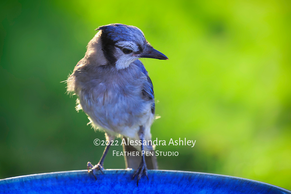 Dramatic light highlights feathers and new blue crest of juvenile blue jay (Cyanocitta cristata) as he perches on birdbath. Natural backyard setting, central Ohio.