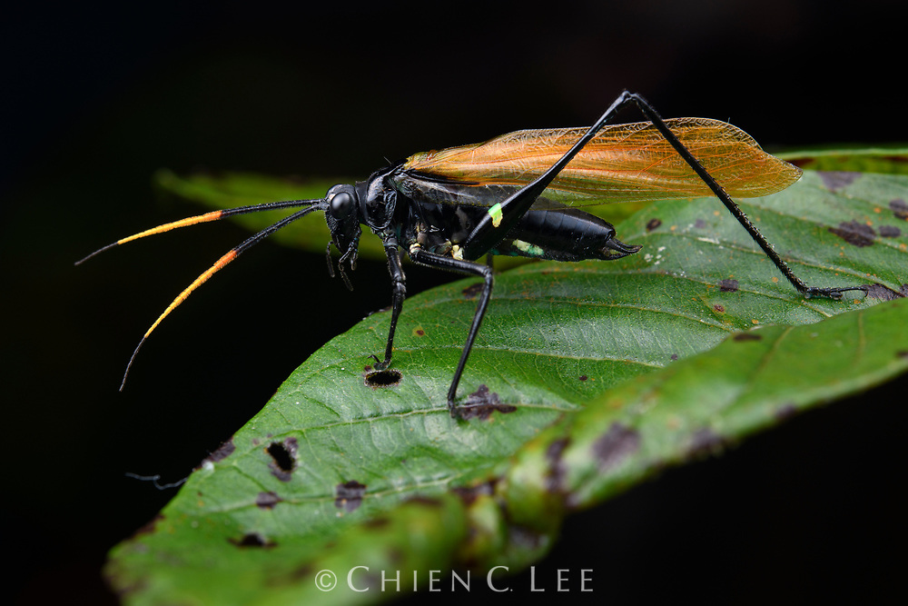 In possession of one of the most painful stings in the insect world, tarantula wasps (Pepsis spp.) are avoided by just about every animal in the forest. This makes them a great thing to be mistaken for, especially if you happen to be an otherwise defenseless katydid such as this (Aganacris velutina). The katydid not only mimics the wasp's distinctive coloration of a shiny black body with bright orange wings and antennae, but also its quick and jerky movements, making it appear decidedly 'un-katydidlike'. This is particularly amazing considering katydids are family of insects normally renowned for their remarkable camouflage colorations. Canandé Reserve, Esmeraldas, Ecuador.