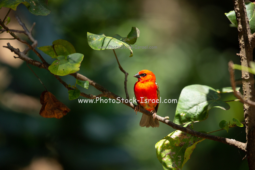 Common fody. Male common, or red fody (Foudia madagascariensis) on a branch. Photographed on Bird Island, Seychelles. in October