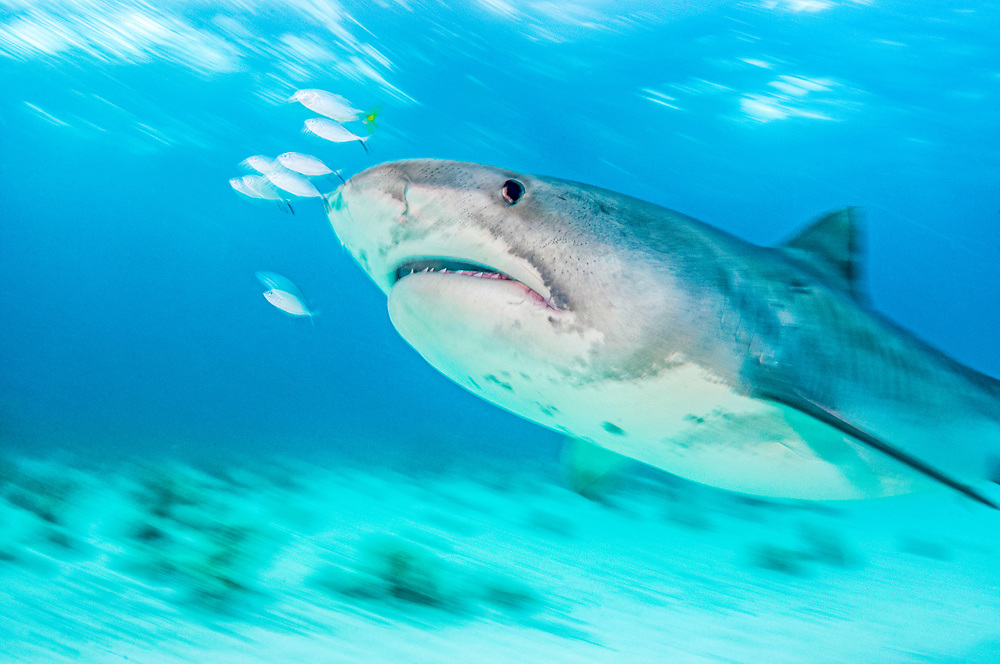 Tiger shark (Galeocerdo cuvier) with fish in front of nose. Slow shutterspeed image. Bahamas.
