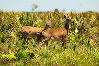 A pair of the many white-tailed deer to be seen in the Kissimmee Prairie Preserve in Okeechobee County, Florida.