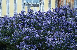 Ceanothus 'Puget Blue' - Californian lilac at Great Dixter