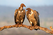 White-backed vultures (Gyps africanus) that have been feeding on red soil in Zimanga Private Reserve, South Africave