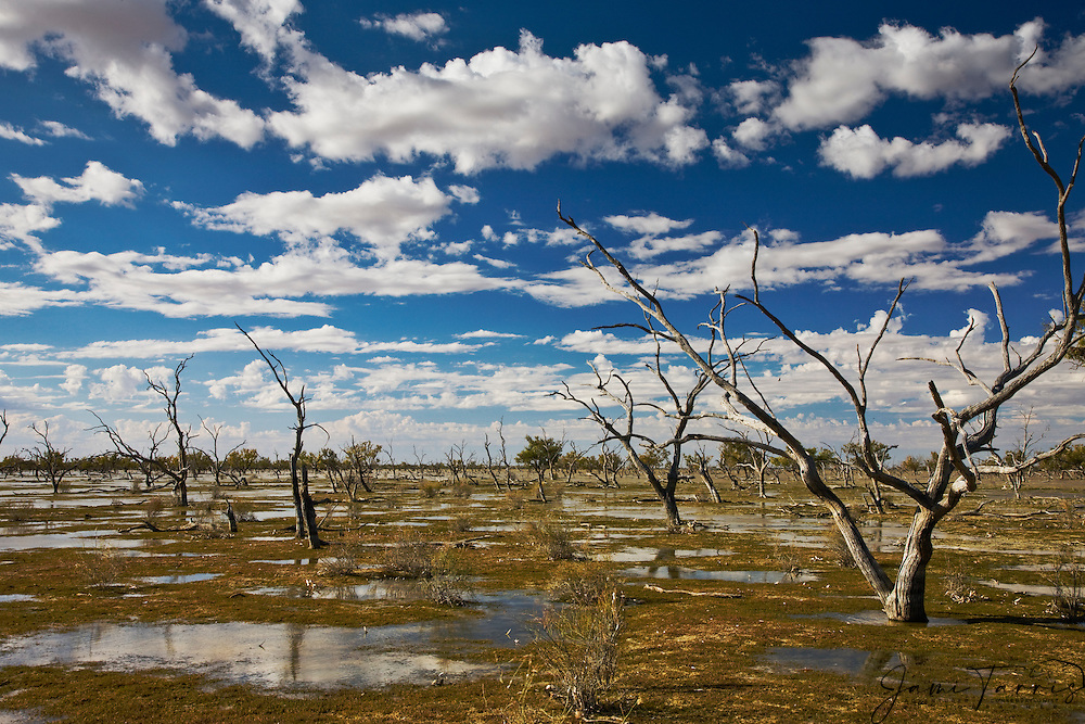 Flooded trees in Cooper Creek reflect in water ,.Cooper Creek, South Australia, Australia