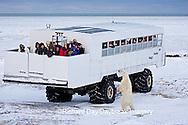 01874-11206 Polar bear (Ursus maritimus) near Tundra Buggy, Churchill, MB