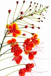 Pride of Barbados tree, caesalpinia pulcherrima #15