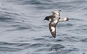 Cape petrel (Daption capense) from the Drake Passage, close to the Antarctic Peninsula