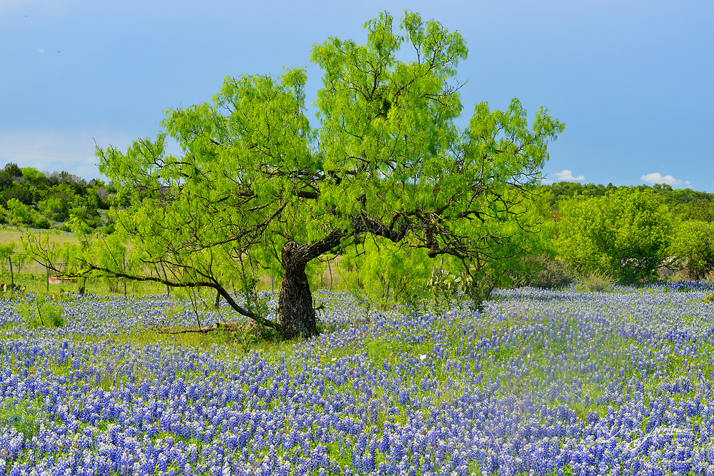 Roadside wildflowers along Threadgill Creek Road featuring Texas bluebonnets, Mason County, Texas, USA