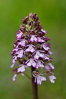 Lady orchid, Orchis purpurea, The Central Apennines rewilding area, Italy, in and around the Abruzzo, Lazio e Molise National Park.