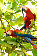 A pair of Scarlet Macaws (Ara macao) eating fruit from a tree near Punta Rio Claro National Wildlife Refuge, Costa Rica.
