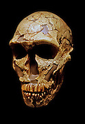 Homo neanderthalensis, La Ferrassie 1 skull, about 70,000 years ago.  Cast of an adult male skull from a skeleton found at the La Ferrassie rock shelter, near Les Eyzies, France in 1909.  The skull shows typical Neanderthal features including a receding forehead, low vaulted cranium and prominent double brow-ridge. Seven other Neanderthal skeletons were also found buried at the site.  Neanderthals lived in Europe from about 200,000-30,000 years ago.