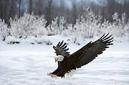 Bald eagle stretches into a landing along the  snow covered river shoreline.