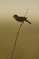 Marsh warbler (Acrocephalus palustris) singing in early morning light. Mission: Lithuania. June 2009.