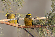 Evening grosbeak males in winter.