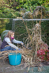 Cutting back deciduous ornamental grasses to the base with shears in early spring - Miscanthus
