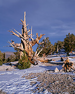 USA, California, Inyo National Forest, Ancient Bristlecone Pine Forest Area, Evening light defines an old bristlecone pine at the Patriarch Grove in the White Mountains.