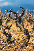 Domaine Jean Baptiste Senat. In Trausse. Minervois. Languedoc. Vines trained in Gobelet pruning. Old, gnarled and twisting vine. Carignan grape vine variety. Vineyard in winter. France. Europe. Vineyard.