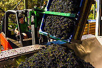 Freshly picked red wine grapes before crushing during the harvest at Kleine Zalze Wines, Stellenbosch, Cape Winelands, South Africa.