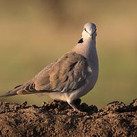 Streptopelia capicola. Also called Cape Turtle Dove.
